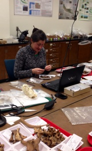 Stephanie Jolivette analyzing faunal material.