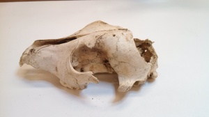 This is a canid skull from Port Clarence. Probably a domesticated dog (Canis lupus familiaris)(Photo by Nate Jereb).