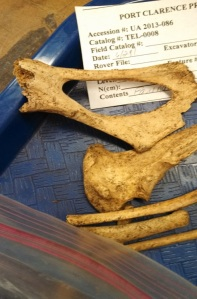 Pelvis, Ulna and Ribs (Photo by Michelle Reed)